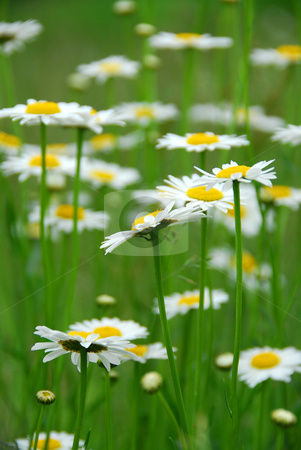 Summer daisies stock photo, Summer daisies in green field by Elena Elisseeva