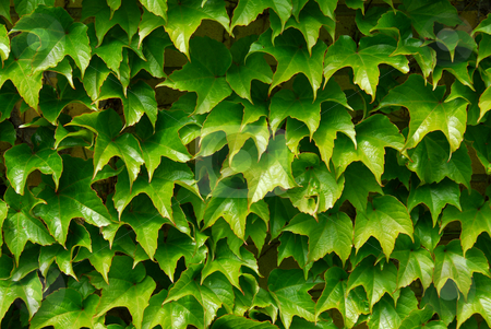 Green ivy background stock photo, Background of green ivy covering a wall by Elena Elisseeva