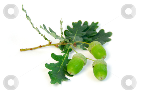 Acorns oak branch stock photo, Oak branch with acorns on white background by Elena Elisseeva