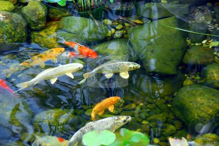 Koi pond stock photo, Koi fish in a natural stone pond by Elena Elisseeva