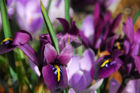 Spring irises stock photo, Spring irises, shallow dof by Elena Elisseeva