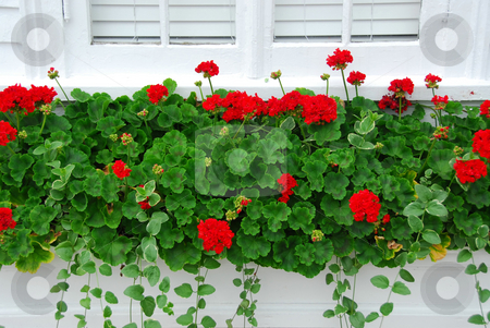 Geraniums on window stock photo, Red geraniums on windowsill by Elena Elisseeva