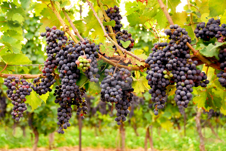 Red grapes stock photo, Row of vines with red grapes by Elena Elisseeva