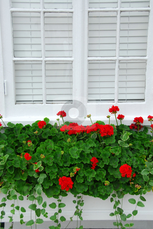 Geraniums on window stock photo, Red geraniums on windowsill, vertical by Elena Elisseeva