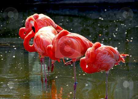 Flamingoes stock photo, Several colorful pink flamingoes standing in water by Elena Elisseeva