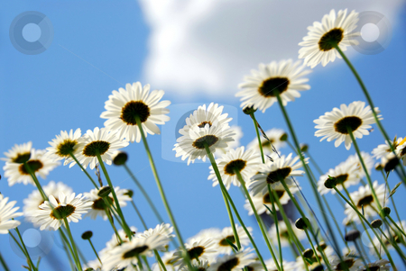 Daisies with blue sky stock photo, Summer daisies on blue sky background by Elena Elisseeva