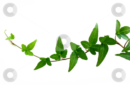 Ivy on white background 2 stock photo, Green ivy closeup on white background by Elena Elisseeva