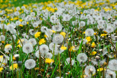 Dandelion field stock photo, A field of blooming and seeding dandelions by Elena Elisseeva