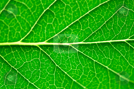 Green leaf macro stock photo, Extreme macro of green leaf with veins by Elena Elisseeva