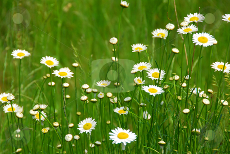 Wild daisies stock photo, Wild daisies growing in a green field by Elena Elisseeva