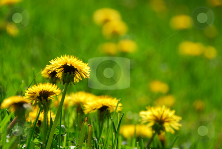 Blooming dandelions stock photo, Blooming spring dandelions by Elena Elisseeva