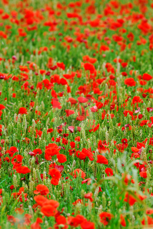 Poppies in rye stock photo, Red poppy flowers growing in green rye grain field, floral natural background by Elena Elisseeva