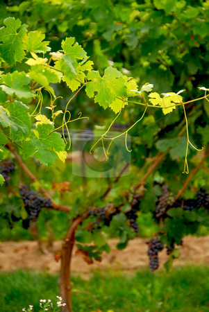 Grape vine stock photo, Backlit branch of grape vine by Elena Elisseeva