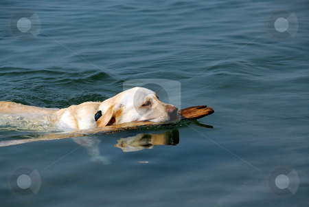 Dog swimming stock photo, Yellow lab swimming in a lake holding a stick by Elena Elisseeva