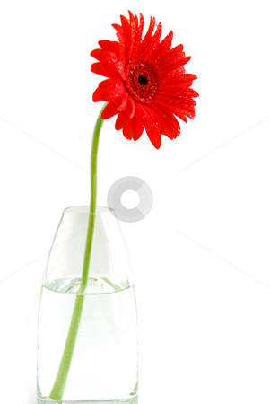 Red gerbera in a vase stock photo, Red gerbera in a vase on white background by Elena Elisseeva