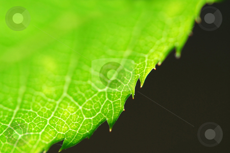 Green leaf edge stock photo, Extreme macro of green  leaf edge, very shallow dof by Elena Elisseeva