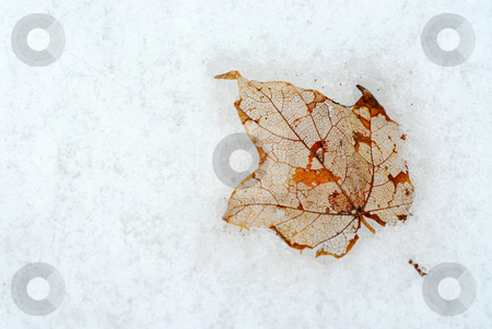 Leaf on snow stock photo, Last year leaf frozen in the snow by Elena Elisseeva