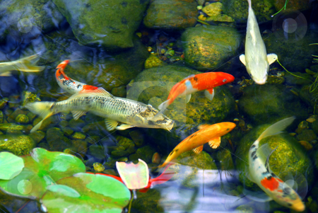 Koi pond stock photo, Koi fish in a natural stone pond by Elena Elisseeva
