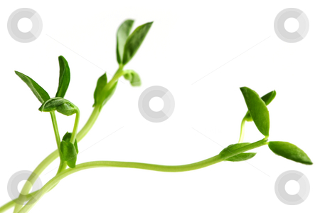 Green sprouts on white background stock photo, Green young pea sprouts isolated on white background by Elena Elisseeva