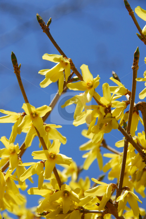Forsythia flower blue sky stock photo, Forsythia flowers close up, blue sky background by Elena Elisseeva