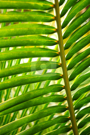 Tropical leaf stock photo, Closeup of a sunlit green palm tree leaf by Elena Elisseeva