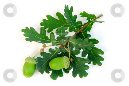 Acorns oak branch stock photo, Oak branch with acorns on white background by Elena Elisseeva