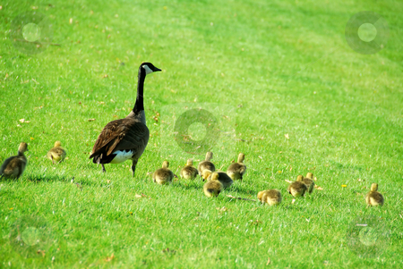 Mother goose stock photo, Canadian mother goose with her goslings walking on green grass by Elena Elisseeva