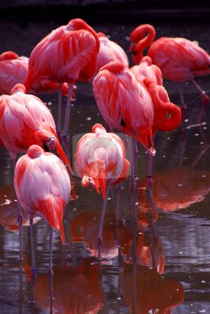 Flamingo stock photo, Group of flamingoes by Elena Elisseeva