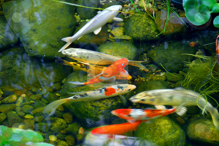 Koi stock photo, Koi fish in a natural stone pond by Elena Elisseeva