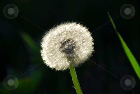 Dandelion stock photo, White seeding dandelion in late afternoon sunlight with grass blade by Elena Elisseeva