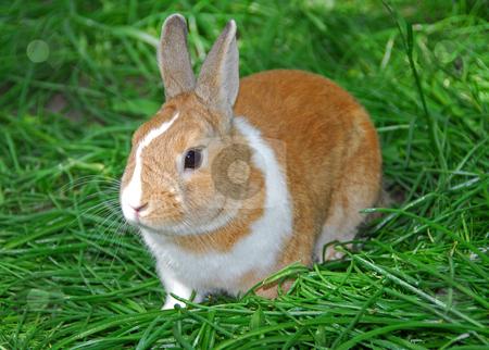 Bunny rabbit stock photo, Bunny rabbit on green grass by Elena Elisseeva