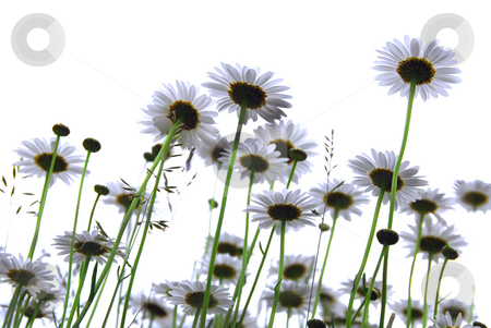 Daisies on white stock photo, Row of wild daisies isolated on white background by Elena Elisseeva