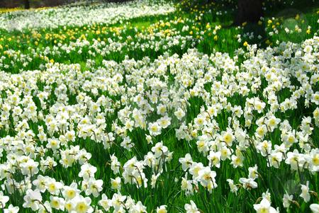 Blooming field stock photo, Blooming field of daffodils by Elena Elisseeva