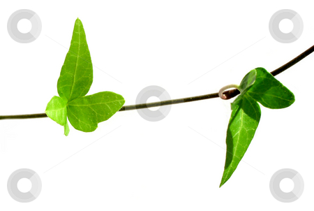 Ivy on white background 3 stock photo, Closeup on two ivy leaves on stem isolated on white background by Elena Elisseeva