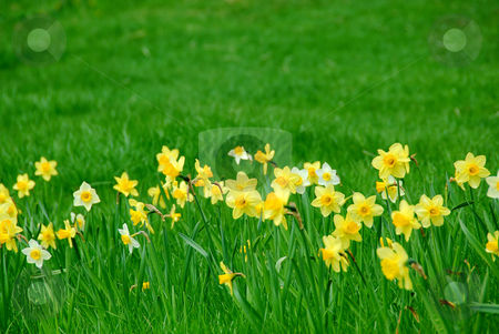 Daffodils and grass stock photo, Row of spring daffodils in green grass field by Elena Elisseeva