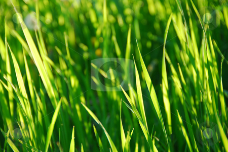 Green grass stock photo, Green grass background by Elena Elisseeva
