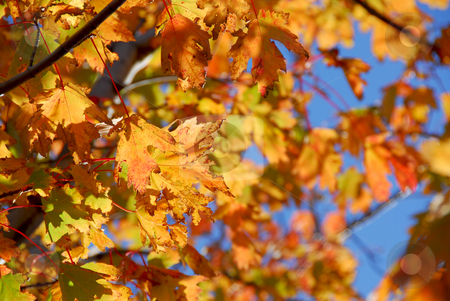 Fall maple leaves stock photo, Backlit fall maple leaves with bright blue sky by Elena Elisseeva