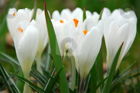 White crocus stock photo, White crocus macro by Elena Elisseeva