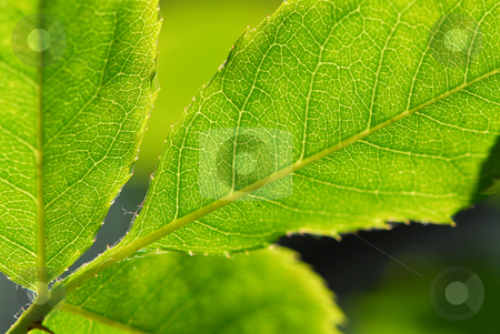 Green leaf stock photo, Extreme macro image of a green leaf by Elena Elisseeva