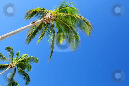 Palms on blue sky background stock photo, Background of bright blue sky with palm tree tops by Elena Elisseeva