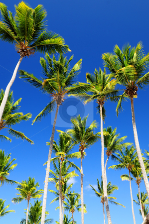 Palms on blue sky stock photo, Lush green palm trees on blue sky background by Elena Elisseeva