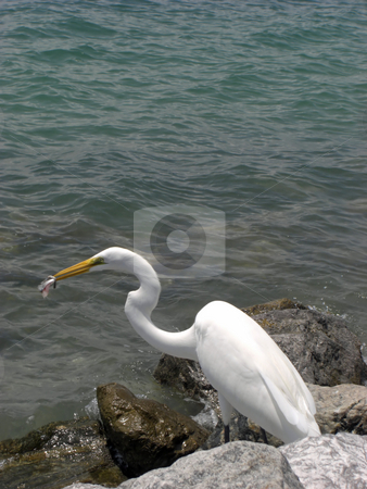 The feeding Egret stock photo, An Egret is standing on the rocks at the edge of the ocean in Ponce Inlet FL, and it is feeding on a fish that it caught. by Rebecca Mosoetsa