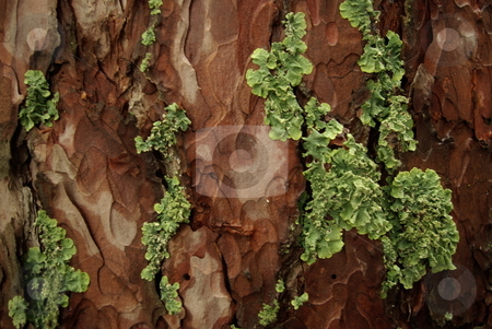 Pine tree bark stock photo, Pine tree bark can  be home to interesting lichen like growth (05/30/2008). by Dennis Thomsen
