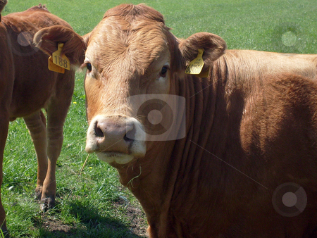 Beef Cow stock photo, Beef cow in countryside, England. by Martin Crowdy