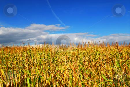 Corn field stock photo, Farm field with growing corn under blue sky. by Elena Elisseeva