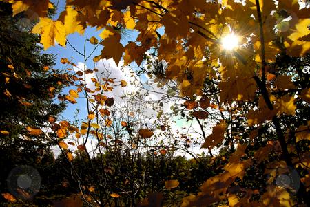 Autumn sun stock photo, Sun shining through yellow fall maple tree branches by Elena Elisseeva