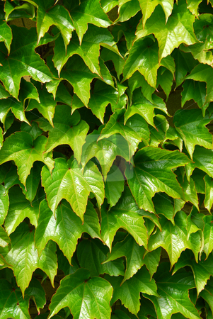 Green ivy stock photo, Green ivy background by Elena Elisseeva