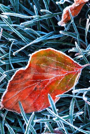 Frosty leaf stock photo, Frosty fallen tree leaf lying on frozen grass on a cold fall morning by Elena Elisseeva