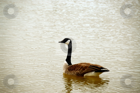 Canada goose stock photo, Canada goose swimming by Elena Elisseeva