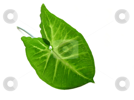 Green leaf over white stock photo, Green leaf isolated on white background by Elena Elisseeva